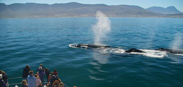 Whale watching Hermanus
